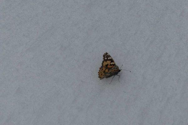 Der Schmetterling war schon ziemlich schwach auf ca 3300m